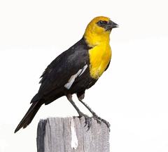 Blackbirds & Orioles Archives - Sandhills Scenic Byway